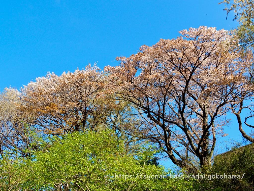 荒井沢市民の森の山桜