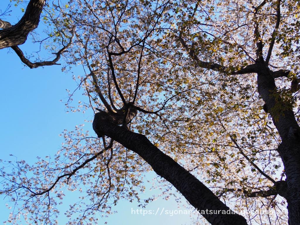荒井沢市民の森 山桜