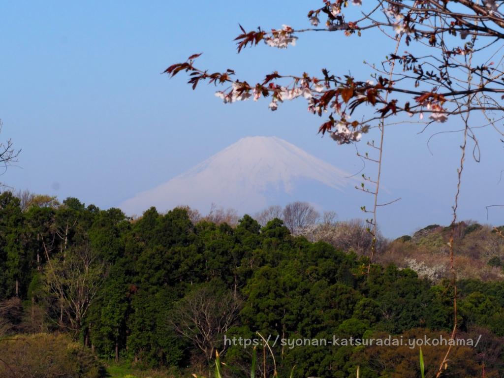 皆城山展望台 富士山と山桜