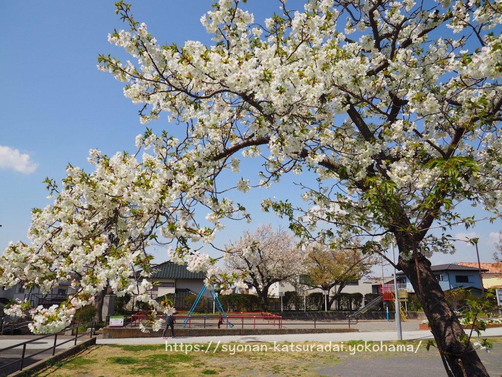 あさもや公園の桜