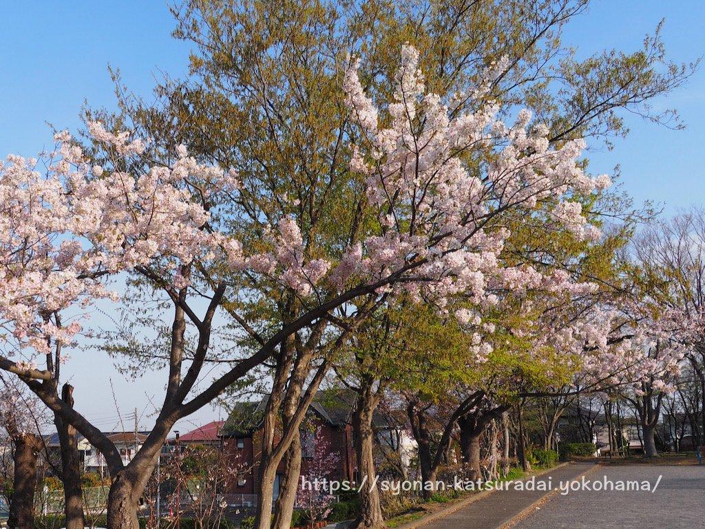 桂山公園 桜と富士山
